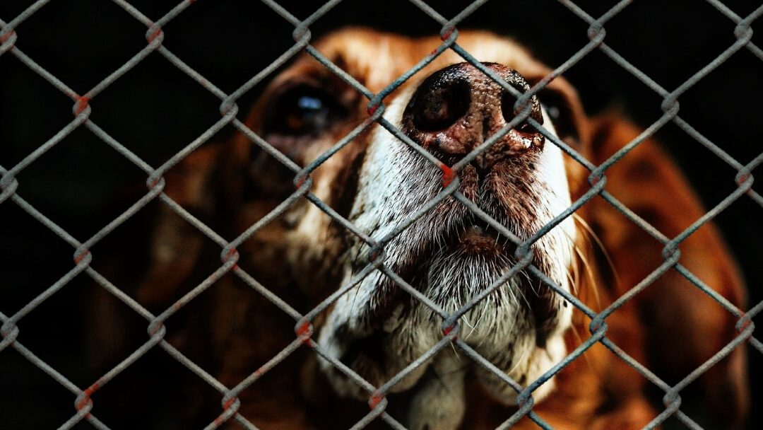 Sad dog behind chain link fence